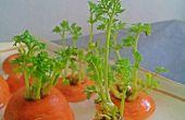 Bonsai de carotte