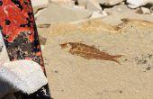 Diviser le calcaire pour trouver des fossiles !