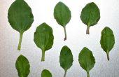 Cataplasme plantain : Furoncles, cloques & piqûres