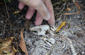 Crâne - nettoyage, la conservation de rat et d'afficher