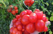 Cultiver les meilleures variétés de tomates de la graine