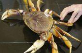 Comment faire cuire et nettoyer un crabe de Dungeness frais