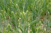 Plantation de blé et soja