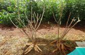 Comment planter manioc \ Yuca \ Tapioca