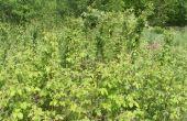 Cultiver des plantes à petits fruits noir