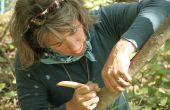 Récolte d'écorce d'aulne