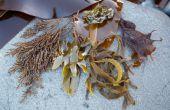Comment Wildcraft Nori, wakamé et autres algues