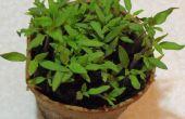 Transplanter vos plants de tomates