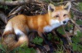 Fox de taxidermie tête de montage