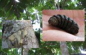 Sève de l'arbre à pain et la larve de la mouche de Bot
