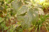 Comment se débarrasser du mildiou de la plante