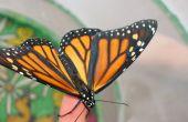 Papillons monarques--Oeufs de papillon