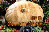 Cultiver une citrouille géante (giant Atlantic) de graine
