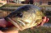 Pêche à l'achigan pour débutants et Pros