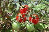 Comment faire un lit de jardin surélevé avec tomates