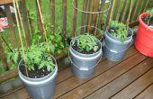 Comment faire pour grandir de grosses tomates dans des récipients