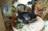 D'incubation de poulet oeufs naturellement