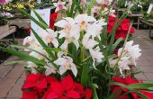 13 choix de plantes fleurissant pour Noël, autres que les Poinsettias