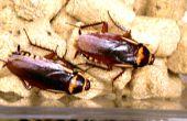 Élever des blattes (intentionnellement)