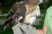 Manipulation des oiseaux sauvages Raptors -