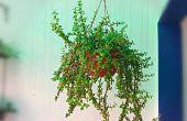 Pousser une plante Jade magnifique en accrochant le panier facilement