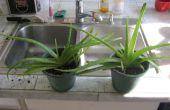 Diviser les plantes Aloe