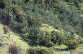 Supprimer l'ajonc (Ulex européens) avec bush Native de Nouvelle-Zélande