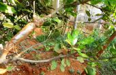 Propagation des fruitiers portant par marcottage aérien