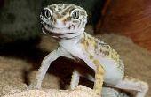 Comment prendre soin pour un « Gecko léopard »