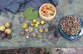 Traitement des aliments arbre commun : Glands, noyers noirs, noix de caryer, kakis