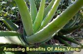 Incroyable de voir les avantages de l'Aloe Vera