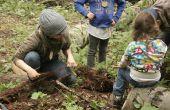 Récolte de racines d'épinette