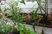 En utilisant un étang de koi pour produire de grandes citrons et un filtre de légume pour nettoyer un étang de koi