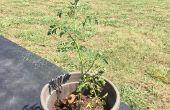 Transplantation de bénévolat tomates