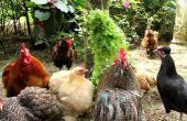 Stress chez les poulets biologiques - comment mettre en œuvre des stratégies visant à prévenir et d'enrayer le stress.