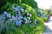 Changer la couleur des hortensias